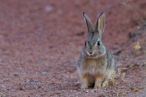 desert-cottontail-1531821_1280